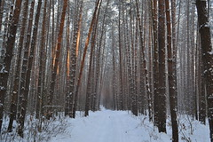 Pinery alley (МирославСтаменов) Tags: russia moscowregion alley forest pinery trunk tree snow winter