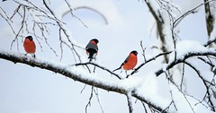 * * * (janrs7) Tags: bullfinch birds bullfinchmale male snow three winter dec sonyilc6000 sonyemount55210mm branches white red december
