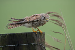 R17_6607 (ronald groenendijk) Tags: cronaldgroenendijk 2017 falcotinnunculus rgflickrrg animal bird birds birdsofprey groenendijk holland kestrel nature natuur natuurfotografie netherlands outdoor ronaldgroenendijk roofvogels torenvalk vogel vogels wildlife