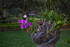 Flowers in the gardens of River Kwai Park & Resort in Kanchanaburi, Thailand (UweBKK (α 77 on )) Tags: flowers blossom tree stump river kwai park resort garden lawn grass nature kanchanaburi province thailand southeast asia sony alpha 77 slt dslr