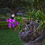 Flowers in the gardens of River Kwai Park & Resort in Kanchanaburi, Thailand thumbnail