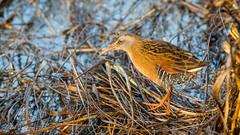 Virginia Rail (Bob Gunderson) Tags: alamedacounty arrowheadmarsh birds california eastbay northerncalifornia rails railsgallinulescoots ralluslimicola virginarail