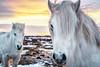 Winter Sunset (AliJG) Tags: 160123 2016 europe horses iceland january myvatn northiceland sunset travel winter
