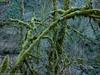 Mossy Trunks (Ramona H) Tags: bellingham interurban usa washingtonstate whatcom whatcomcounty forest hiking maple moss winter