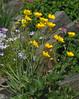 Ranunculus gramineus (Todd Boland) Tags: flowers ranunculus ranunculaceae
