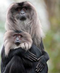 liontailed macaque Blijdorp BB2A7847 (j.a.kok) Tags: animal aap primaat primate zoogdier dier mammal blijdorp macaque makaak macaca asia azie liontailedmacaque wanderoe wanderoo baardaap