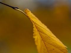 Blowin' in the Wind (Mildred Alpern) Tags: beechleaf outdoors macro stem veins midrib blade petiole