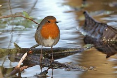 Robin on an icy Puddle (RSPB Dungeness ARC willow trail) (GrahamParryWildlife) Tags: mk2 7d 150600 sigma grahamparrywildlife uk kent rspb animal outdoor viewing photo flickr add new sunlight depth field up blue dof kentwildlife marsh dungeness still digital serene nature image ice willow trail
