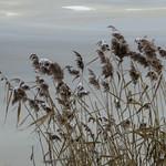 Winter Reeds - Roseaux d'hiver thumbnail