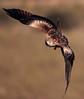 A por el Lunes!!!! (chuscordeiro) Tags: vuelo flight ave pajaro bird prey milano milvus rapaz alas wildlife libre salvaje naturaleza fauna españa spain canon1dxmarkii canon500f4 wings nature
