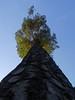 Der Baum (berndtolksdorf1) Tags: baum wald himmel krone licht outdoor natur kiefer