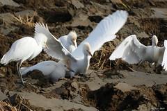 Esplugabous (Enllasez - Enric LLaó) Tags: aves aus bird ocells pájaros esplugabous garcillabueyera deltadelebre deltadelebro delta 2017