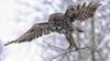 Launch (jrlarson67) Tags: great gray grey owl raptor bird sax zim bog minnesota bif nikon d810