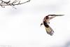_JHS9542 (Bribes de terre) Tags: faune oiseau hiver chardonneret