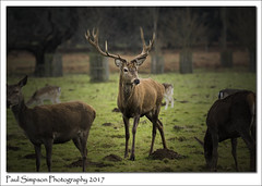 Red Deer Stag (Paul Simpson Photography) Tags: paulsimpsonpotography imagesof imageof photoof photosof normanbypark stag reddeer deer mammal animal antlers grass countryside tree field england uk nature naturalworld legs face herd december 2017
