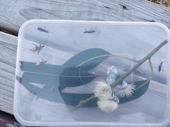 Soldier beetles in a box at Namatjira Park (avlxyz) Tags: fbc soldierbeetle chauliognathuslugubris plaguesoldierbeetle leatherwings cantharidae elateroidea yellowandgreenbeetle