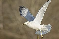 The Seagull in Flight (Thomas Vasas Photography) Tags: nature wildlife animals birds wildbirds seagulls flight coopercreekpark columbus georgia