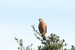 DSC_1111.jpg Red-shouldered Hawk, Yolo Bypass (ldjaffe) Tags: twinlakes