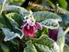 Gelukkig Nieuwjaar - Happy New Year (joeke pieters) Tags: 1370147 panasonicdmcfz150 stokroos rijp frost hoarfrost gelukkignieuwjaar happynewyear bloem flower tuin garden platinumheartaward