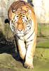 amurtiger Ouwehands BB2A4348 (j.a.kok) Tags: tijger tiger amurtiger amoertijger pantheratigrisaltaica siberischetijger siberiantiger ouwehands kat cat predator mammal animal asia azie zoogdier dier taymir