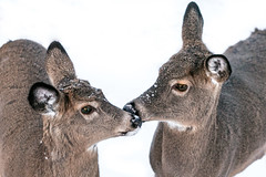 5L1A3250.jpg (Wild.Woods.Photography) Tags: animal mammal deer doe buck fawn buckfawn mama kisses smooch fur nose ears eyes wildlife wildlifephotography nature outdoors snow coldweather animals canon eos white portrait winter 2017 love kindness