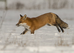 Red Fox_3 (Thomas Muir) Tags: tommuir woodcounty perrysburg ohio vulpesvulpes male snow nature outdoor mammal animal catlike nikon d800 600mm midwest tundra winter landscape foxy fur wildlife daytime graceful