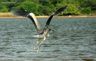 IMG_7652 Grey Heron (Ardea cinerea)