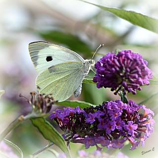 Butterfly and Buddlea
