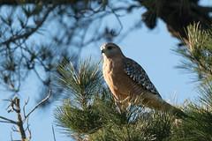 DSC_5559.jpg Red-shouldered Hawk, Schwan Lake (ldjaffe) Tags: schwanlake redshoulderedhawk