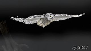 Snowy Owl_T3W2819