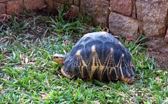 One of four (LeftCoastKenny) Tags: madagascar day11 hôtellejardinduroyisalo grass wall tortoise