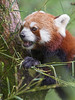 Panda eating in the tree (Tambako the Jaguar) Tags: redpanda smallpanda portrait close eating food leaves bamboo tree climbing holding cute zoo zürich switzlerland nikon d5