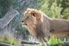 Ernest (ToddLahman) Tags: lion lions lioncamp sandiegozoosafaripark safaripark canon7dmkii canon100400 canon closeup mammal male outdoors beautiful christmasday escondido