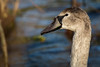 Cygnet (deltic17) Tags: swan swans cygnet bird wildlife wild country countryside lake river winter reflection rspb canon photography photo