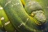 Emerald tree boa (Caledonia84) Tags: emerald tree boa canada sony cosina 100mm macro snake green