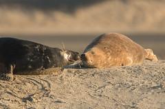 Instant tendresse (Eric Penet) Tags: phoque gris seal animal mammifère mammal wildlife wild france faune littoral côte opale berck grey greyseal pasdecalais hiver décembre nature mer sauvage pinnipède