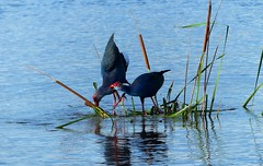 Purple Swamphen - courtship display. (forest venkat) Tags: water bird sea grass wood day sunset beach sky red flower nature blue night white tree green flowers portrait art light snow dog sun cloudy clouds cat park winter landscape street summer lake christmas people bridge family river pink house car food bw old one other online macro music new moon orange garden blackandwhite charismas xmas merry images free painting plumage painted lady mountain europe travel europetravel mountainside whale bluewhale birdwatching flickr belgium france