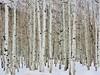 Snow and Aspen (Robert Cowlishaw (Mertonian)) Tags: beauty beautiful wonder awe ineffable winter grove foryou hiking canonpowershotg1xmarkiii markiii g1x powershot canon robertcowlishaw mertonian wilderness snow aspens