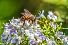 Honey Bee_(Manual Focus)_0956 (Manni750) Tags: honey bee pollen pollinator plants plant flower flowers garden summer spring closeup macro blossom bloom