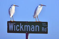 "Snowy-Egrets_01 (DonBantumPhotography.com) Tags: wildlife nature birds animals snowyegrets egrets buttecounty northerncalifornia ""donbantumphotographycom"" ""donbantumcom"" ""nikon d7200"" ""afs nikkor 200500mm f56e ed vr"""