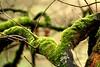 Auf der Suche nach grün... (Antje_Neufing) Tags: green moss grün farbe ast baum winter januar wald park teleobjektiv tele