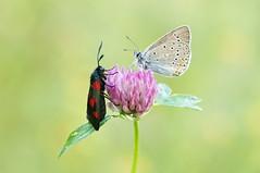 A Blind Date... (Zbyszek Walkiewicz) Tags: butterflies butterfly sony closeup insects