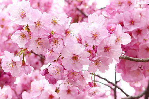 Flowering Sakura Cherry Trees Attract Visitors to Chiang Mai Hill Station!