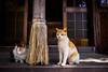 thrivers on islands #117 (Ogi Island, Kagawa) (Marser) Tags: xt10 fuji raw lightroom japan kagawa island cat shrine 香川 男木島 豊玉姫神社 神社 猫 貓