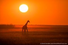 Wandering the Plains (David Swindler (ActionPhotoTours.com)) Tags: africa glow sun giraffe wildlife sunset silhouette backlight