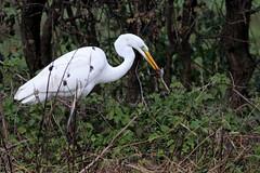Great White Egret, Dalton (JR Studio) Tags: ardeaalba greatwhiteegret egret heron dalton northyorkshire yorkshire bird rare