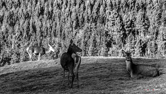 En tranquilidad antes de las primeras nieves (Jabi Artaraz) Tags: ciervos jabiartaraz jartaraz zb euskoflickr nature