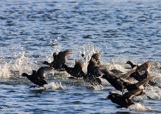 FOCHAS (corriendo sobre el agua) (Lor)