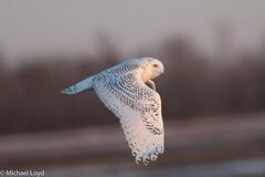Snowy Owl (mobull_98) Tags: snowyowl owl