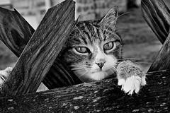 Curious cat (Zèè) Tags: chat cat cats gato gatto katze black bw blackandwhite blanc noir noirblanc curious monochrome